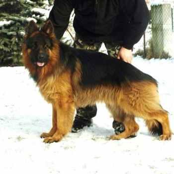 Import German Shepherd For Sale