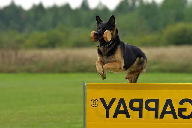 Ipo German Shepherd
