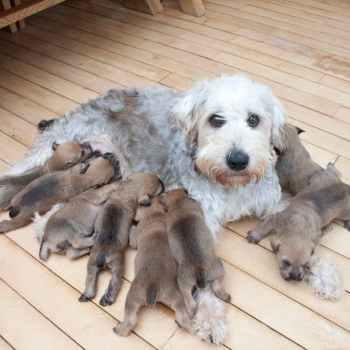 Irish Soft Coated Wheaten Terrier Puppies For Sale