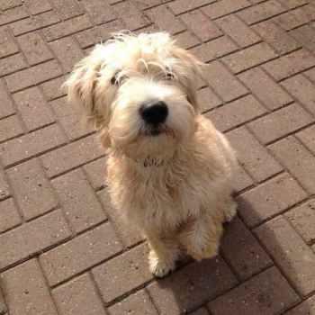 Irish Wheaten Terrier Puppies For Sale