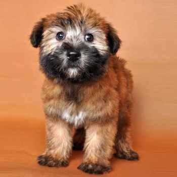 Irish Wheaten Terrier Puppies