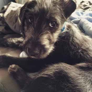 Irish Wolfhound Terrier Mix Puppies