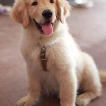 Is Golden Retriever A Good Dog