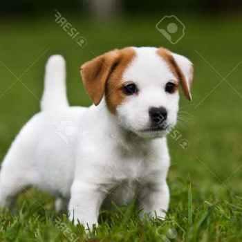 Jack Russel Terrier Adoptions