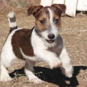Jack Russel Terrier Rescue California