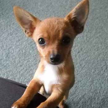 Jack Russell And Chihuahua Mixed