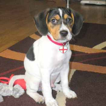 Jack Russell Beagle Mix Puppies