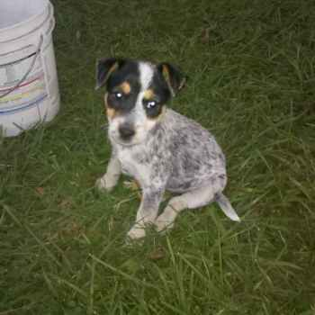 Jack Russell Blue Heeler Mix Puppies