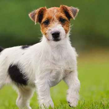 Jack Russell Care