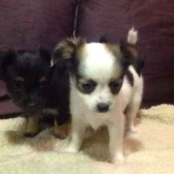 Jack Russell Chihuahua Puppy For Sale