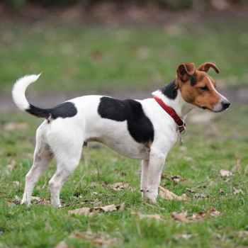 Jack Russell Dog Breeder