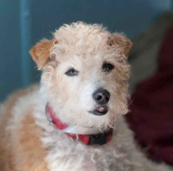 Jack Russell Poodle Mix