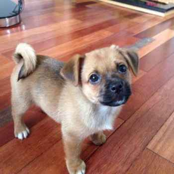 Jack Russell Pug Mix Puppies