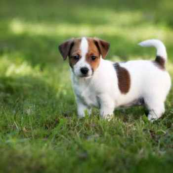 Jack Russell Puppie Pictures