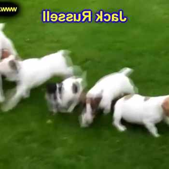 Jack Russell Puppies For Sale In Alabama
