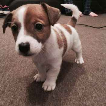 Jack Russell Puppies For Sale In Mi
