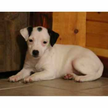 Jack Russell Puppies For Sale In Missouri