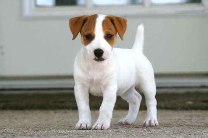 Jack Russell Puppies For Sale In Ohio