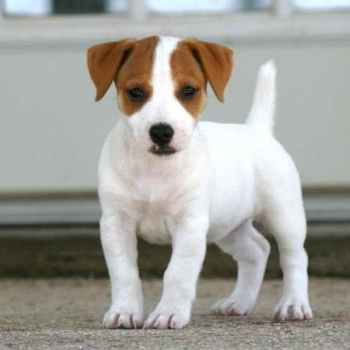 Jack Russell Puppies For Sale In Sc
