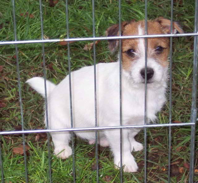 Jack Russell Puppies Ga