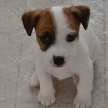 Jack Russell Puppies In Texas