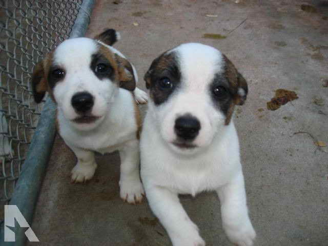 Jack Russell Puppies Wisconsin