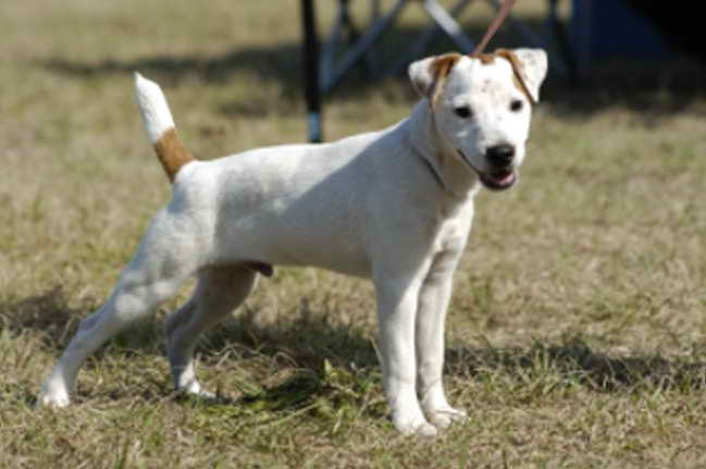 Jack Russell Rescue Florida