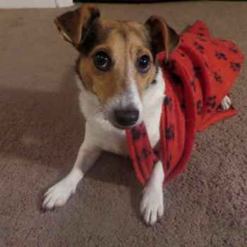 Jack Russell Rescue Greensboro Nc