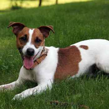 Jack Russell Rescue Indiana
