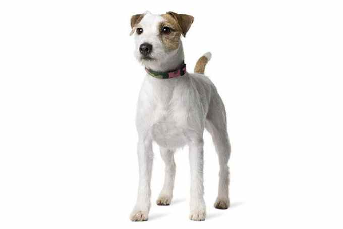 Jack Russell Rescue Mn