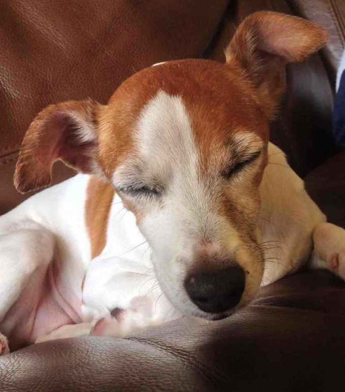 Jack Russell Rescue Wisconsin