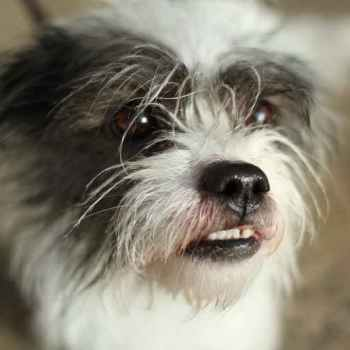 Jack Russell Shih Tzu