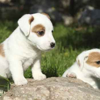 Jack Russell Terrier Akc
