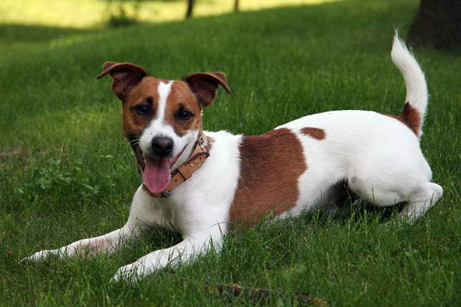 Jack Russell Terrier Breeder Texas