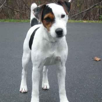 Jack Russell Terrier Breeder