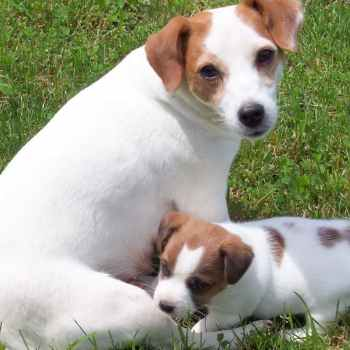 Jack Russell Terrier Breeders In Ohio