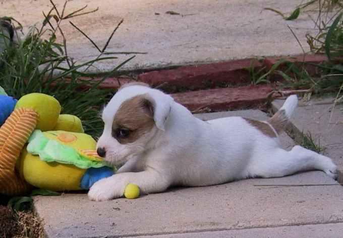 Jack Russell Terrier Breeders Washington State