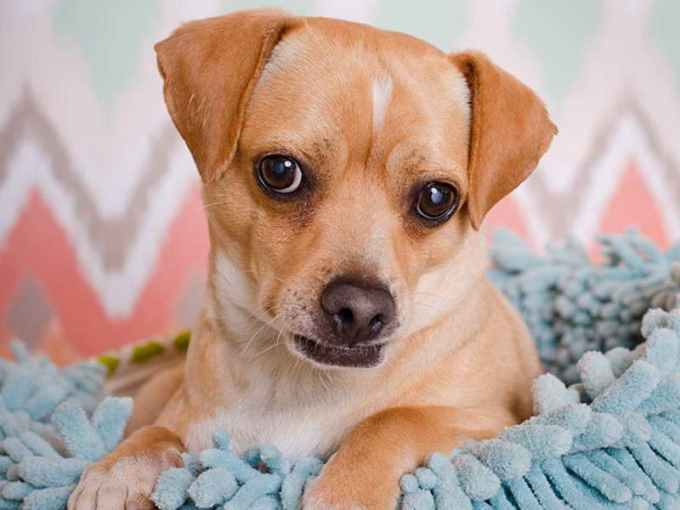 Jack Russell Terrier Chihuahua Mix