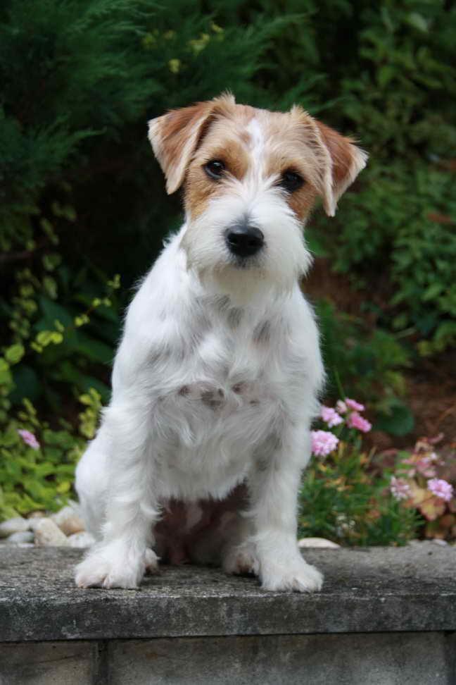 Jack Russell Terrier Coat