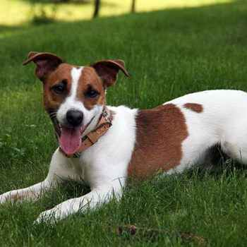 Jack Russell Terrier Dog For Sale