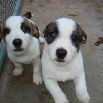 Jack Russell Terrier For Sale In Wisconsin