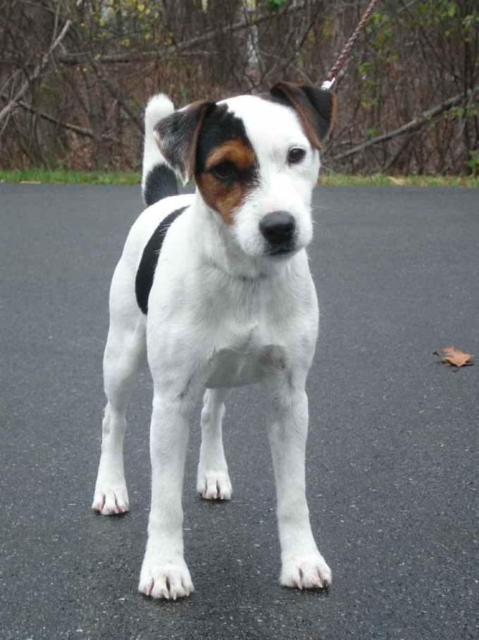 Jack Russell Terrier Mass
