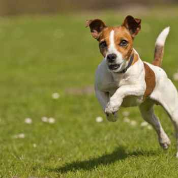 Jack Russell Terrier Names