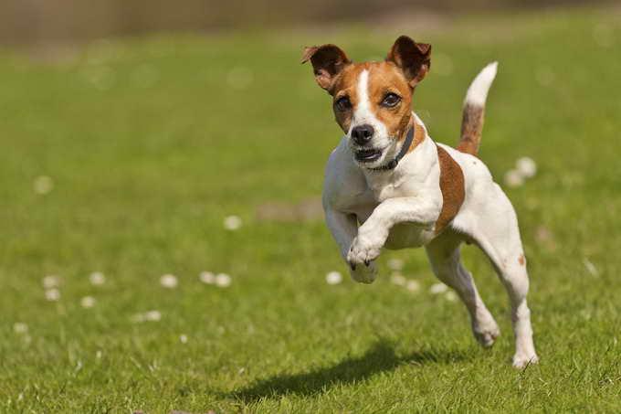 Jack Russell Terrier Names