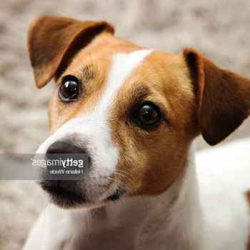 Jack Russell Terrier Photos