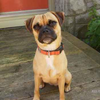 Jack Russell Terrier Pug Mix