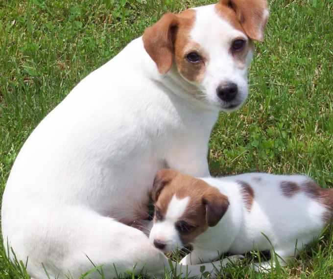 Jack Russell Terrier Puppies Alabama