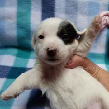 Jack Russell Terrier Puppies Az