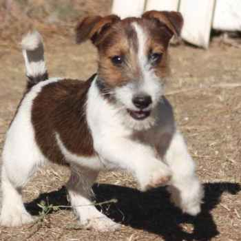 Jack Russell Terrier Puppies California