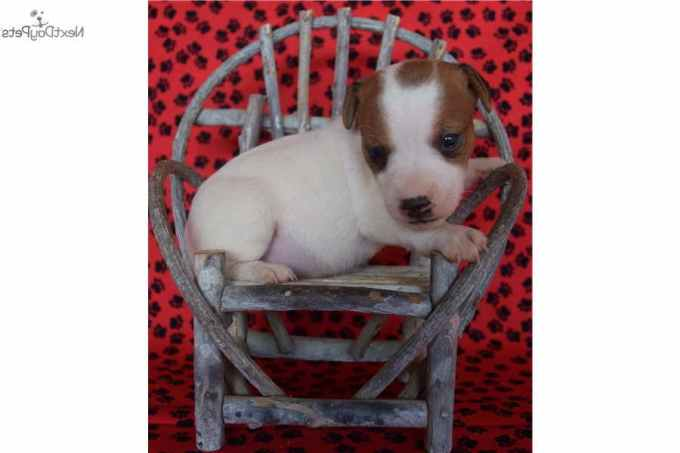 Jack Russell Terrier Puppies For Sale In California